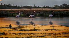 Trio (Fred&rique) Tags: lumixfz1000 photoshop flamant aude lagune matin tôt reflets orange couleurs
