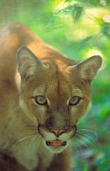 Puma/Puma concolor (Scott Leonhart) Tags: captive belize belizecity belizezoo carnivore cat curious portrait predator pumapumaconcolor zoo
