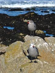 Pacific Grove, California (Jasperdo) Tags: pacificgrove california roadtrip pacificgrovemarinegardens montereypeninsula seagull brid