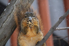 275/365/3197 (March 13, 2017) - Snowy Squirrel in Ann Arbor at the University of Michigan (March 13th, 2017) (cseeman) Tags: gobluesquirrels squirrels annarbor michigan animal campus universityofmichigan umsquirrels03132017 winter eating peanut marchumsquirrel rosssquirrel rossschoolofbusiness terracotta snow snowing 2017project365coreys yearnineproject365coreys project365 p365cs032017 356project2017 umsquirrel