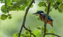 Kingfisher with a stickleback. (simon.mccabe.5) Tags: blue food colour bird nature birds canon fishing riverside sigma kingfisher 400mm stickleback 7dmk2