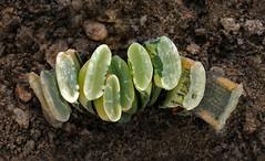 Haworthia 7 (scenescape-partners) Tags: cactus india plant succulent aloe nursery lithops euphorbia variegated agave haworthia cycas rare sansevieria gasteria zamia jatropha scenescape caudiciform monstrose encphalartos