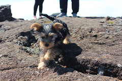 Volcan (ironaxia) Tags: dog chien reunion animal island volcano extrieur volcan