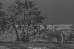 _L5A0634 (Wil de Boer Photography --> Dutch Landscape and Ci) Tags: horse animals sunrise landscape thenetherlands pony paard canonef2470f28 terheijl canon7dmarkii sigma70200mmf28exdgapooshsm copyrightc2015wildeboerphotography wwwfacebookcomwildeboerphotography wwwwildeboerphoto