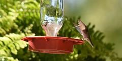 Hummingbirds (30) (Porch Dog) Tags: summer nature birds kentucky wildlife feathers birdfeeder august hummingbirds migration fx 2015 nikon80400mm garywhittington nikond750