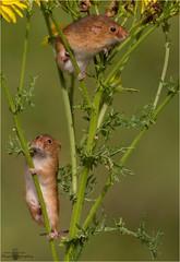 Harvest mice (photojunckie69) Tags: nature canon outside mice workshop preston harvestmice 100400mmlens