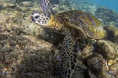 Honu incoming (bodiver) Tags: hawaii turtle ambientlight wideangle snorkeling freediving honu reef fins kahaluu