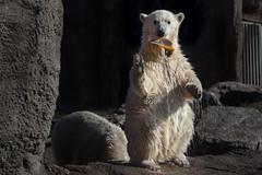 BLIJDORP20151001_©arievantilborg-9851 (Arie van Tilborg) Tags: blijdorp polarbear ijsbeer rotterdamzoo ijsberen arievantilborg
