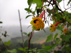 Tropaeolum (plantsfrompanama) Tags: flowers flores tropaeolum cerropunta chiriqui