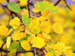 _24 Karat (SpitMcGee) Tags: autumn leaves laub herbst explore 117 birke birchtree goldennovember spitmcgee
