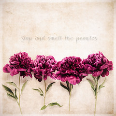 Stop and smell the peonies (RoCafe (very busy a few days)) Tags: flowers stilllife painterly purple quote tabletop textured peonies pictrica nikond600 diamondclassphotographer