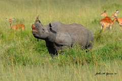 JHG_8233-b Black Rhino flehmening, Masai Mara, Kenya. (GavinKenya) Tags: africa wild nature animal june john mammal photography gavin photographer kenya african wildlife july grand safari dk naturephotography kenyasafari africansafari 2015 safaris africanwildlife africasafari johngavin wildlifephotography kenyaafrica kenyawildlife dkgrandsafaris africa2015 safari2015 johnhgavin