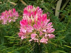 Flor Rosa (Javier Garcia Alarcon) Tags: flowers flores flower flor rosa pinkflower pinkflowers cultivated florrosa florcultivada ornamentalflower florornamental pinkfloresrosas