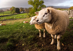 Do I look better in Profile  (explored 29.10.15) (c.richard) Tags: sheep farm farming cumbria yorkshirenationalpark