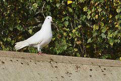 Doo (Chris Mullineux) Tags: bird nikon dove doo whitedove kirtlington mullineux
