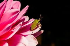 Macro-24652.jpg (CitizenOfSeoul) Tags: flower macro bug germany deutschland blumen garten wanze dahlien sersheim