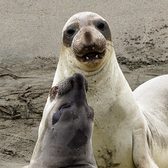 Elephant Seals (topendsteve) Tags: ocean beach san seal simeon elephantseal pinned a7r11
