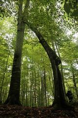 pisagor ağacı