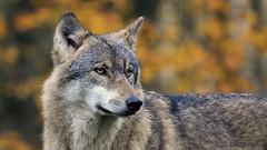 Autumn Wolf (Nephentes Phinena ☮) Tags: wolf greywolf europeangreywolf wildparkeekholt grauwolf nikond300s europäischergrauwolf eurasiangreywolf eurasischergrauwolf