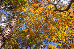 DSC0977820151103 (Zac Li Kao) Tags: autumn trees mountain tree fall nature japan zeiss hiking sony cybershot yamanashi otsuki rx1 rx1r