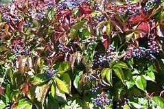 wilde wingerd, Parthenocissus quinquefolia (JANKUIT) Tags: wilde ephesus efes parthenocissus kusadasi efeze ephesos sirince quinquefolia irince wingerd ephes