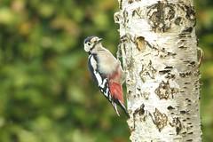_DSC3479 Grote Bonte Specht : Pic epeiche : Picoides major : Buntspecht : Great Spotted Woodpecker