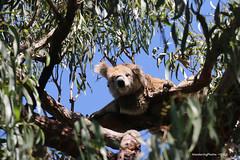 Koala - Raymond Island Victoria Australia (WanderingPJB) Tags: australia victoria raymondisland wildlife koala cute smileonsunday happyanimal 7dwf