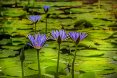 Hiding in plain sight ... HSS (jenni 101) Tags: flowers waterlilies postprocessing slidersunday