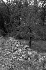 Rester af gammelt svensk agerbrug I (holtelars) Tags: spotmatic spotmaticf smc takumar smctakumar 28mm f35 film analog ilford ilfordfp4 125iso d76 bw jobo atl1500 autolab monochrome filmphotography filmforever blackandwhite outdoor sverige sweden woods trees rockfence larsholte homeprocessing asahi fp4 pentax