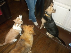 Rosie, Hannah and Alice Cooper (Just Back) Tags: thanksgiving christmas camera xmas food dog pets holiday love sc home beagle dogs kitchen fur mammal see waiting floor sweet jesus ears scene desire eat heads mutts carolina hungry paws companion beg
