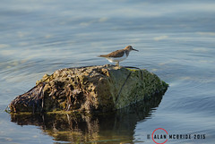 Common Sandpiper AM8Q0380.jpg (alanmcbride1) Tags: france bird birds aude languedoc wader commonsandpiper sigean