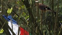 Garrulus glandarius (Andreas Jaeck) Tags: germany europe eurasianjay garrulusglandarius corvidae rabenvogel eichelhher