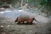 2014.01.27 Zoo Pomerode (RodrigoGrld) Tags: zoologico zoo pomerode zoopomerode zoologicopomerode animais tatu armadillow