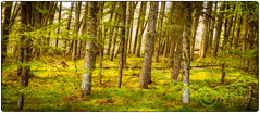 larch forest in spring (paul kamphuis) Tags: grass spring larixdecidua larix nationalpark land nationalparks landscapes woodland countryside park environment scenery tree travel forest dominantcolor overijssel sprengenberg green haarle europe netherlands coniferous holland dominantcolour ecology ecosystem environmentalism europselariks landscape landschap larch lariks lork nature plants ruralarea seasons springtime