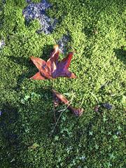 2016-11-22 10 35 43 (Pepe Fernández) Tags: naturaleza textura colores forma formas abstracto musgo hoja hojaseca