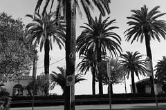 Liguria (fabiolug) Tags: palmtrees palmtree palms palm sign rope tree trees nature liguria ligury italia italy leicammonochrom mmonochrom monochrom leicamonochrom leica leicam rangefinder blackandwhite blackwhite bw monochrome biancoenero 35mmsummicronasph 35mmf2summicronasph summicronm35mmf2asph summicron35mmf2asph 35mm summicron leicasummicron leica35mm