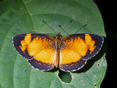 Tegosa claudina (Rodrigo Conte) Tags: claudinas tegosaclaudina tegosa claudina nymphalidae nymphalinae melitaeini insect inseto insecta borboleta butterfly brasil brazil brasilia fantasticnature buzznbugz