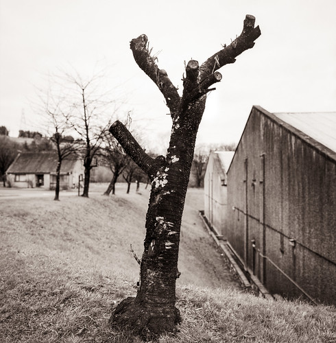 Tree near Pittyvaich Distillery