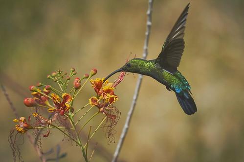 Green-Throated Carib 1435 1