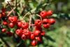toyon_berries (xpcfan) Tags: whiting ranch wilderness toyon