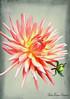 A Painted Dahlia (MarieFrance Boisvert) Tags: texture flypapertextures impression textures flower dahlia