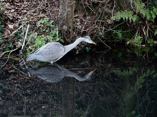 Grey Heron, Monmouthshire-Brecon Canal, Greenhill Road, Cwmbran 29 December 2016