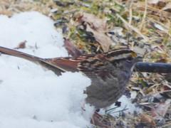 White-throated Sparrow (Keith Roragen) Tags: nebraska bird whitethroatedsparrow zonotrichia albicollis omaha