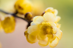 wintersweet 1280 (junjiaoyama) Tags: japan flower plant wintersweet yellow winter tree