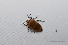 _B6A8699 (pirotake) Tags: papua insect indonesia nature hemiptera scutelleridae pentatomoidea shieldbug arfak