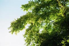 summer breeze (xelia mj) Tags: summer breeze wind tree green leaves leaf full bloom sky film camera pentax me super hoya lens 36mm 400 iso fujifilm 1970s vintage retro back garden relax pretty lovely calming calm outdoors