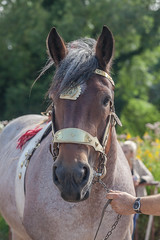 Wemmel : Jaarmarkt, championship for horses#4 (foto_morgana) Tags: animals belgie belgique belgium cheval horse jaarmarkt2016 mammalia mammals mammifères outdoor paard säugetiere wemmel zoogdieren