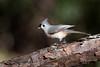 Tufted Titmouse (Melis J) Tags: bird florida tuftedtitmouse palmharbor