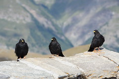 Alpine Choughs (Jan-Christof Telford) Tags: alpine chough