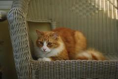 Jimmy (rootcrop54) Tags: jimmy male orange ginger tabby boy cat faux macska kedi 猫 kočka kissa γάτα köttur kucing gatto 고양이 kaķis katė katt katzen kot кошка mačka maček kitteh chat ネコ wicker rattan